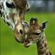 giraffe77