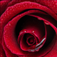 rosered27