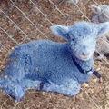Bluelamb