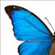 butterfly-blue