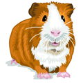 guineapigeducation