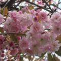 blossom101