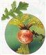 oakapple