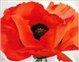 Poppy_Red