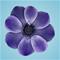 bluebellis