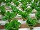 leafyvegetables