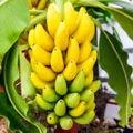 bananatree84