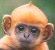 Ginger_monkey