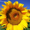 Sunflower2512