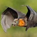 FlyingFoxBat