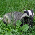 mrs-badger