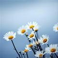 lazydaisyflower