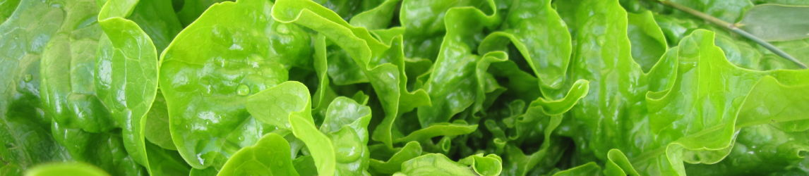 Fresh Lettuce Biology  Resources